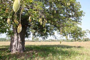 Baobabu2