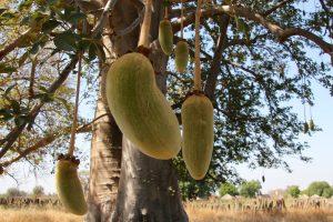 Baobabu3